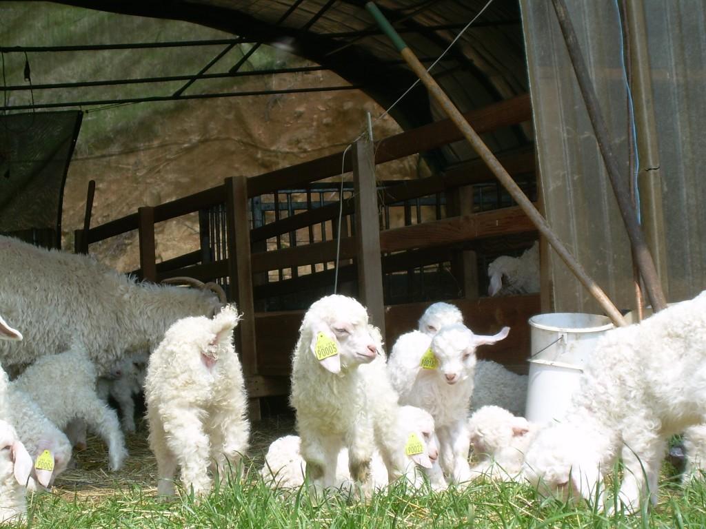 Chèvres coteaux guennois