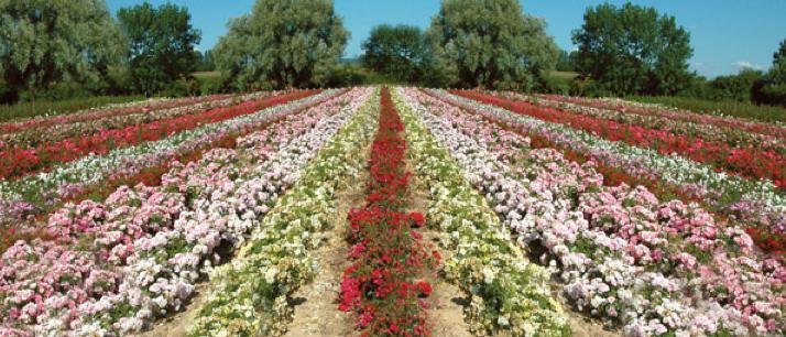Roses Guillot, cultivées en plaine terre en France