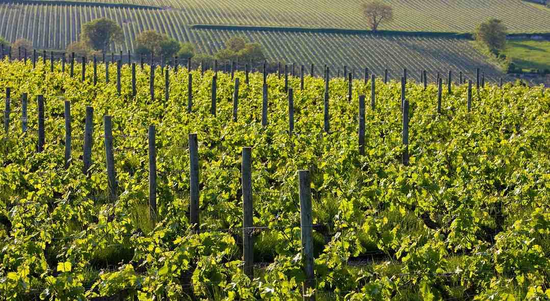 la-vigne-un-patrimoine-franc%cc%a7ais