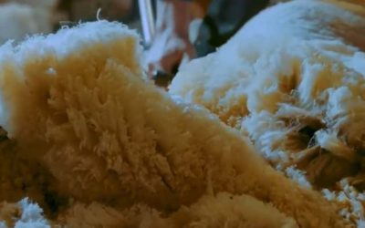 Redonner de la valeur à la laine française