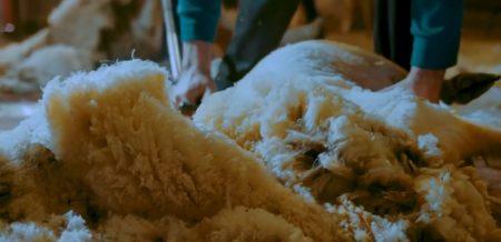 Laine de moutons élevés en France.