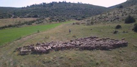 Troupeux de moutons en France.