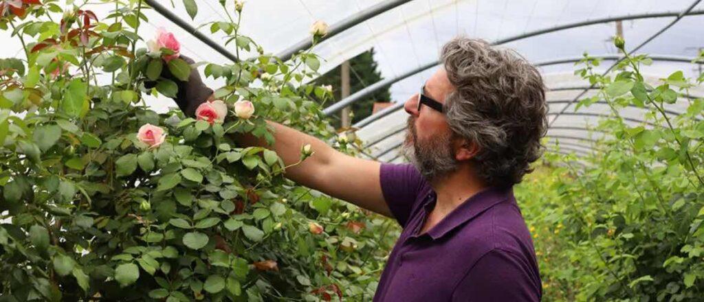 Chez Monsieur Marguerite, les roses sont cultivées en Ide-de-France. Elles ne sont pas importées du Kenya…