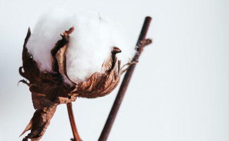 Fleur de coton.